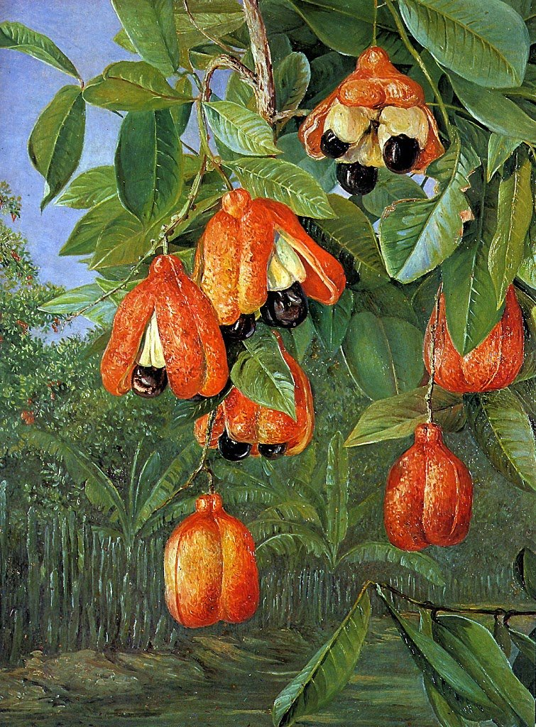 Part Ii More Fruit Of Poisonous Tree >> Ackee The National Fruit Of Jamaica Awa Tree Blog