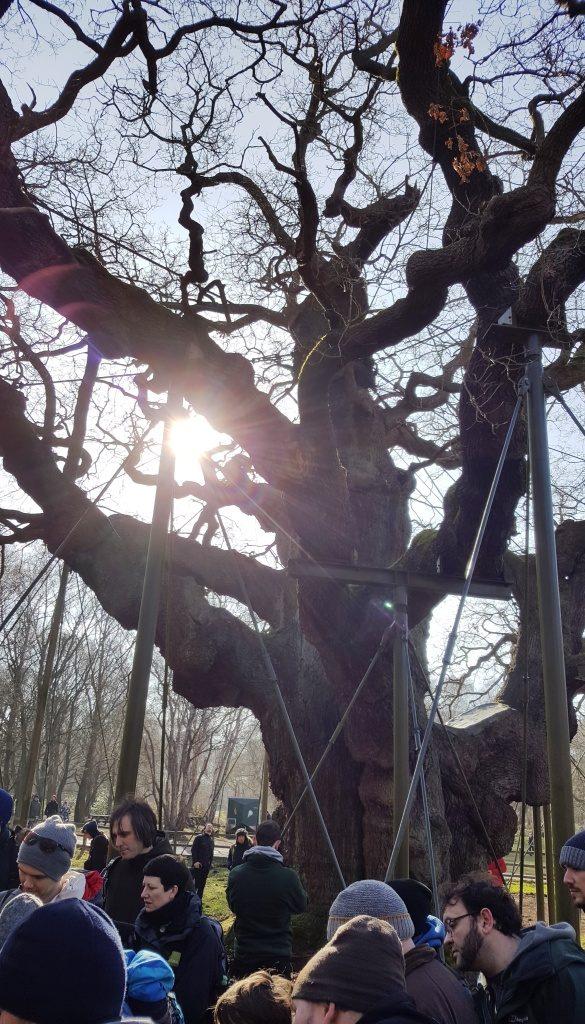 Arborists at Major Oak Sherwood Forest