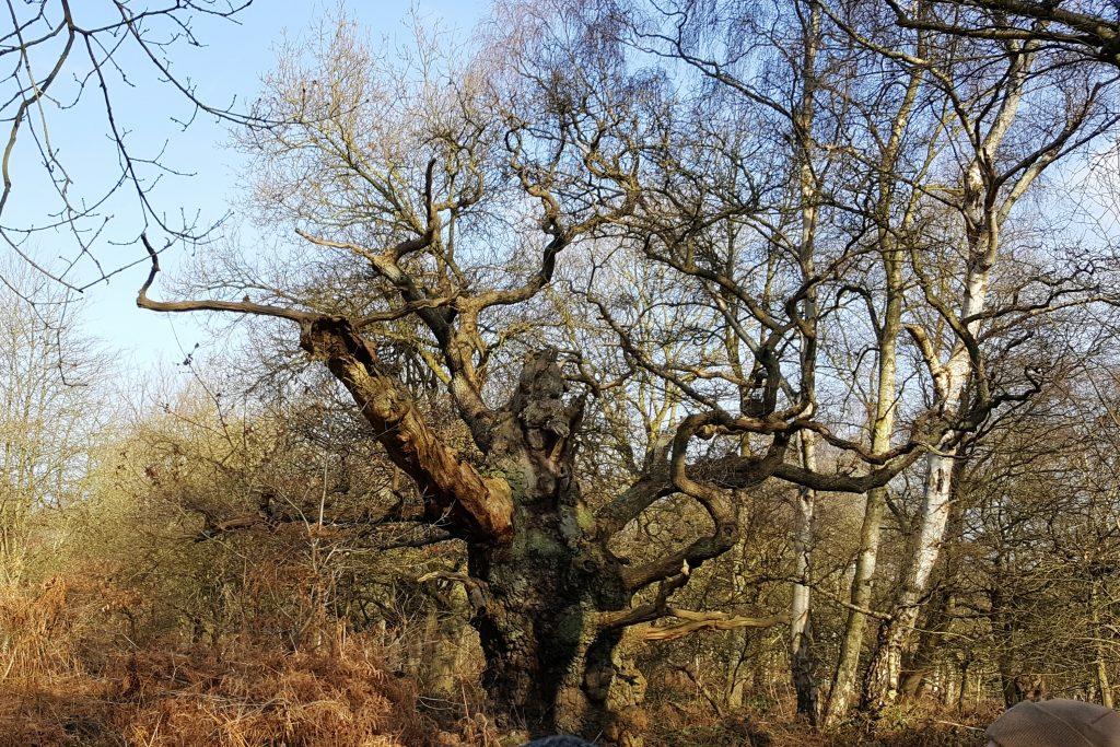 Tree 1: Stumpy. Ancient tree in Nottighamshire